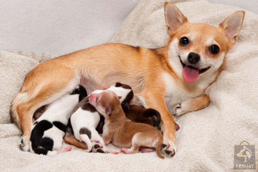 تغذیه سگ باردار یا سگ مادر