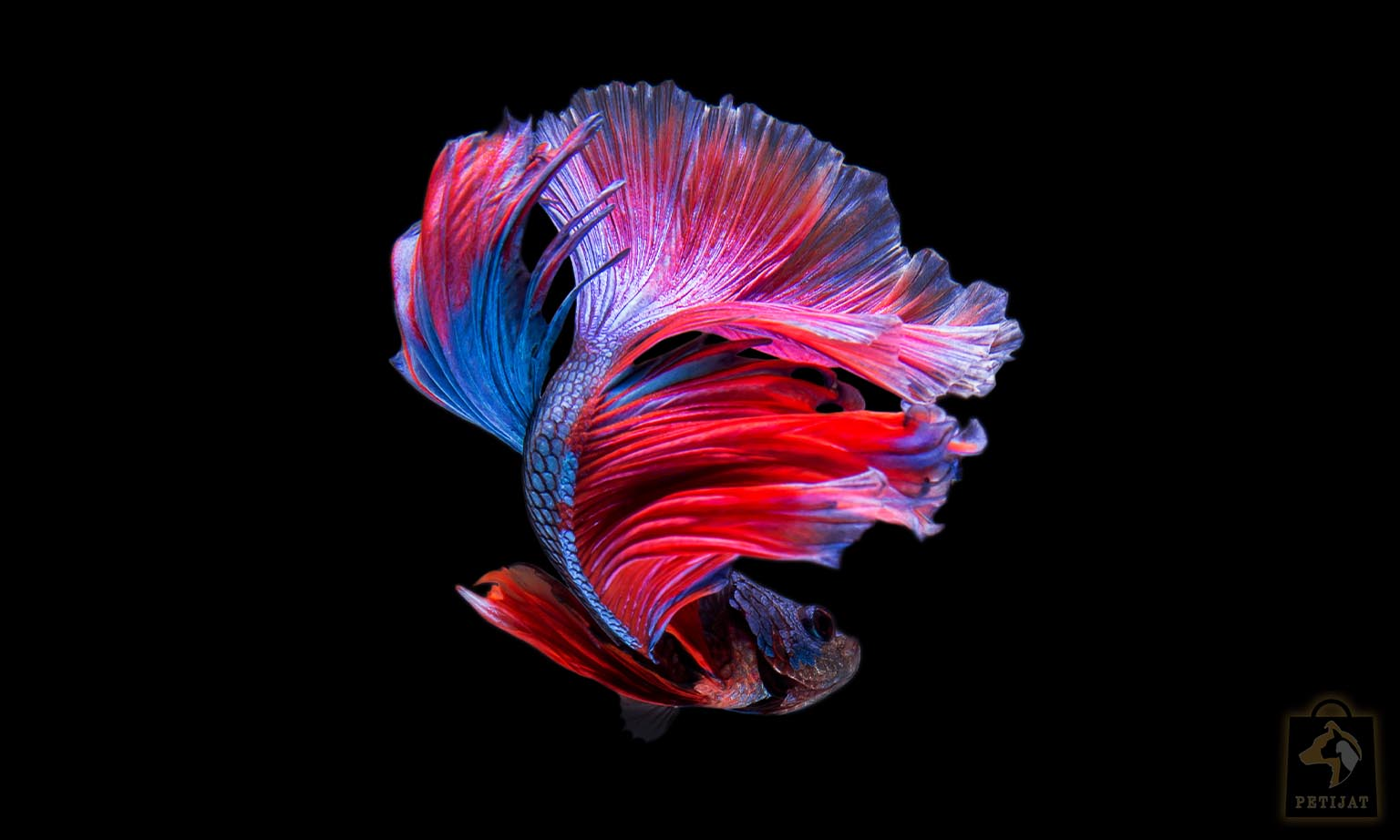 معرفی انواع ماهیان زینتی پتیجات